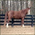 - Past resident - Ibrahim, 17.3 hand, 1,600 pound, Warmblood. Click to Enlarge